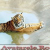 Poze Tigri